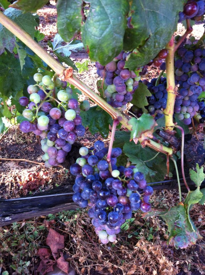 Multi-colored grapes