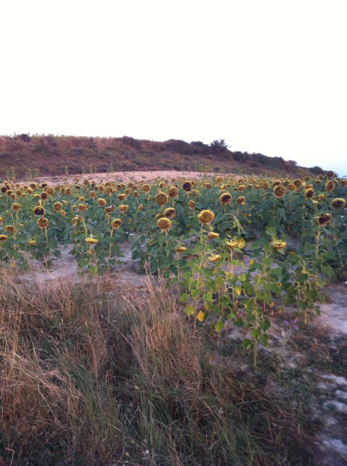 Fields of sunflowers near Zariquiegui