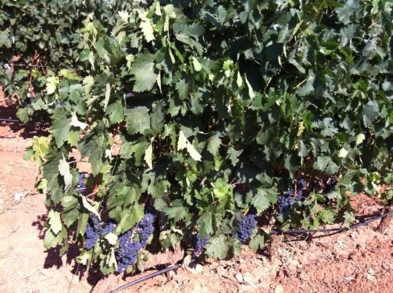 Vineyards near Navarette