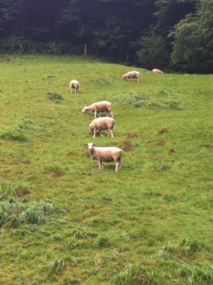Sheep grazing near Valcarlos