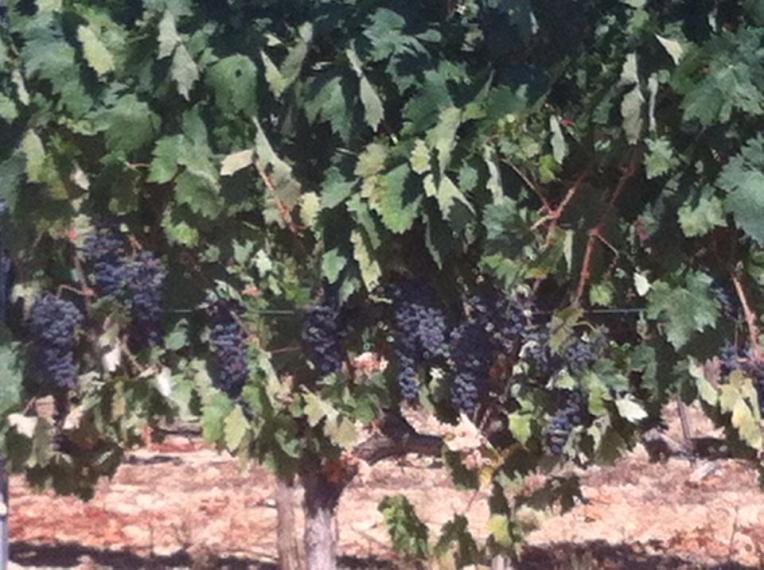 Vineyards between Villamayor de Monjardin and Los Arcos