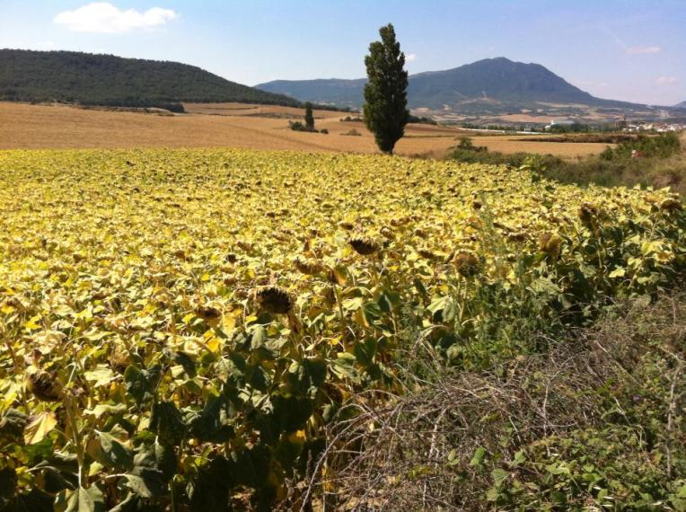 Sunflower fields near Lorca