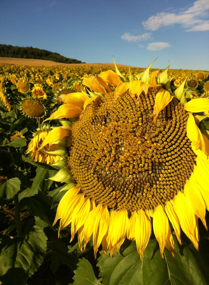 Happy sunflower near Villafranca Montes de Oca