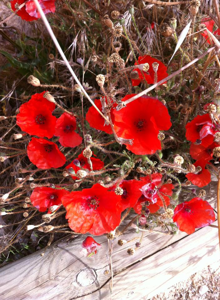 Red poppies near Boadilla del Camino
