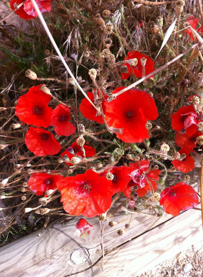 Red poppies near Boadilla del Camino