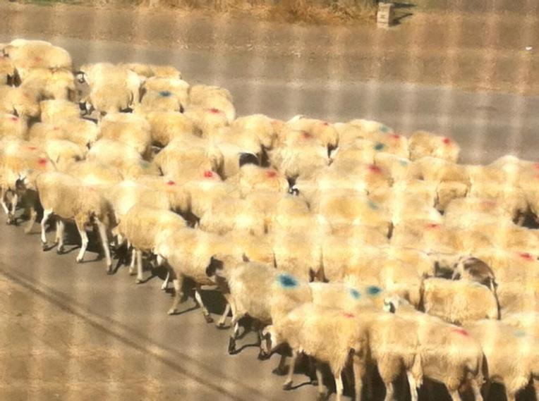 Flock returning from the fields, Bercianos del Real Camino