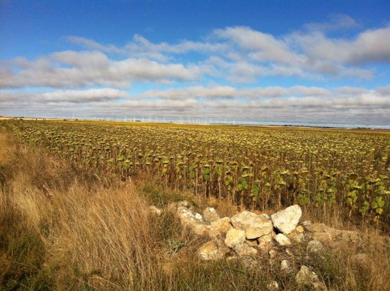 Sunflower crop on the Meseta between San Bol and Hontanas