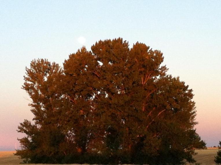 Lone tree in Terra de Campos along the Senda
