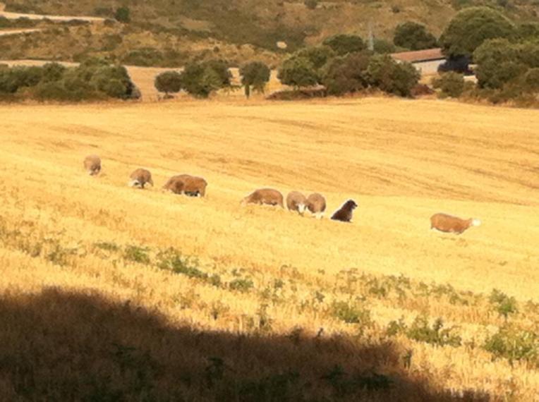 Sheep dog guarding his flock near Azqueta