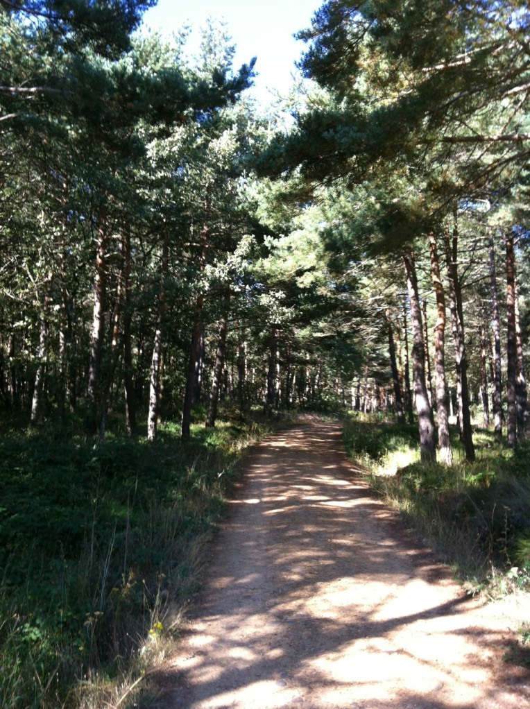 Pine lined trail outside of Villafranca Montes de Oca