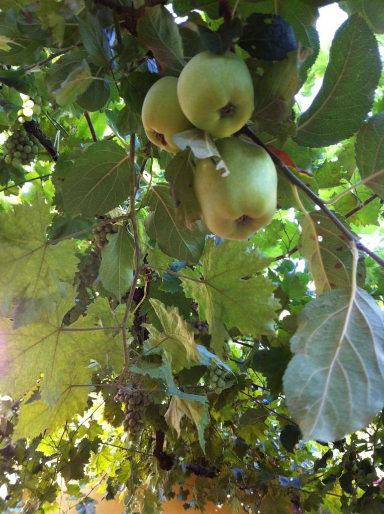 Apple tree with grape vine, intertwined to create a covered patio at the En El Camino albergue