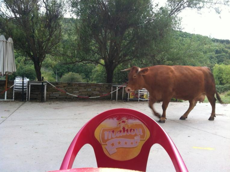 Yep, cow walking by the bar in Triacastela