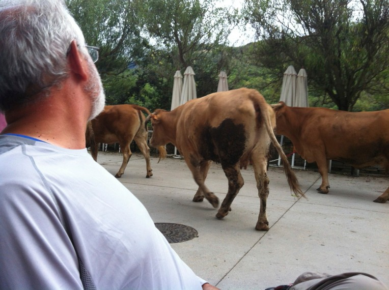 Whole bunch of cows returning from their day pasture walked right by us at the bar in Triacastela
