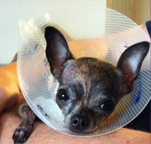 "Kiara with the ""cone of shame"" after surgery"