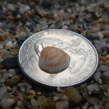 Baby cockle shell