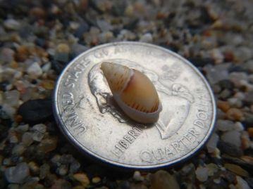 Baby pheasant shell