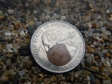 Baby striped venus clam shell