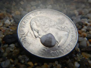 Baby striated venus shell