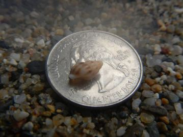 Baby whelk shell