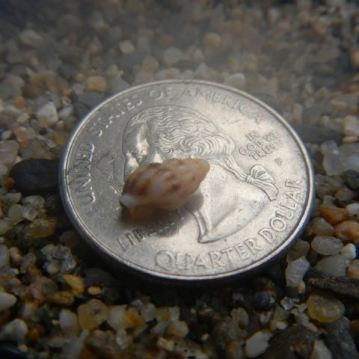 Baby whelk shell