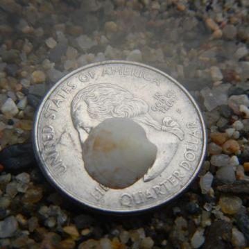 Baby rayed artemis shell
