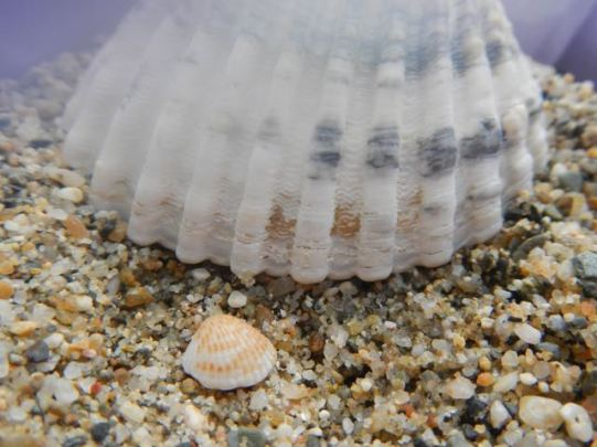 Cockle shells (baby and adult)