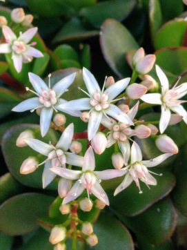 Pretty blooms on a succulent . . . in January